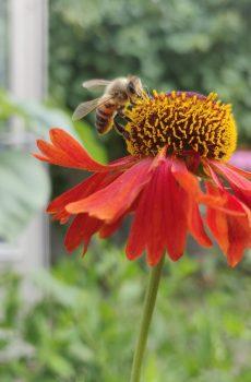 Bloemenzaad voor bijen & vlinders BIO